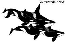 Orca pod drawing